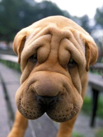 naturalne zmarszczki u psa znanej rasy